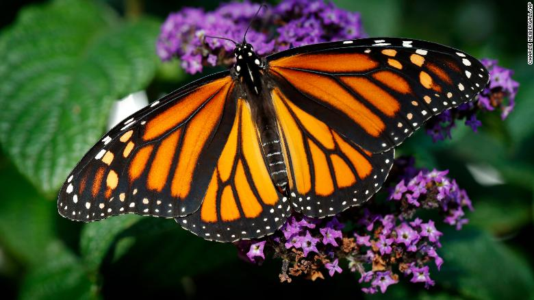Droughts, pesticides and loss of habitat are seen as reasons for the Western monarch's decline.