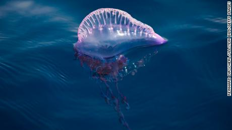 Strong northeasterly winds forced the bluebottle jellyfish ashore (stock photo).