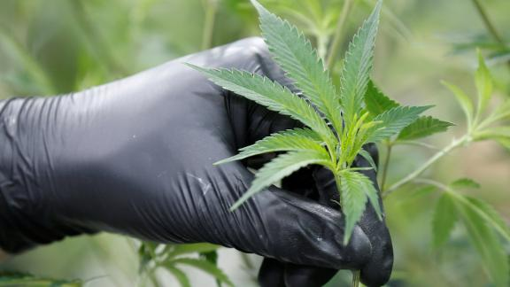 A worker collects cuttings from a marijuana plant at the Canopy Growth Corporation facility in Smiths Falls, Ontario.