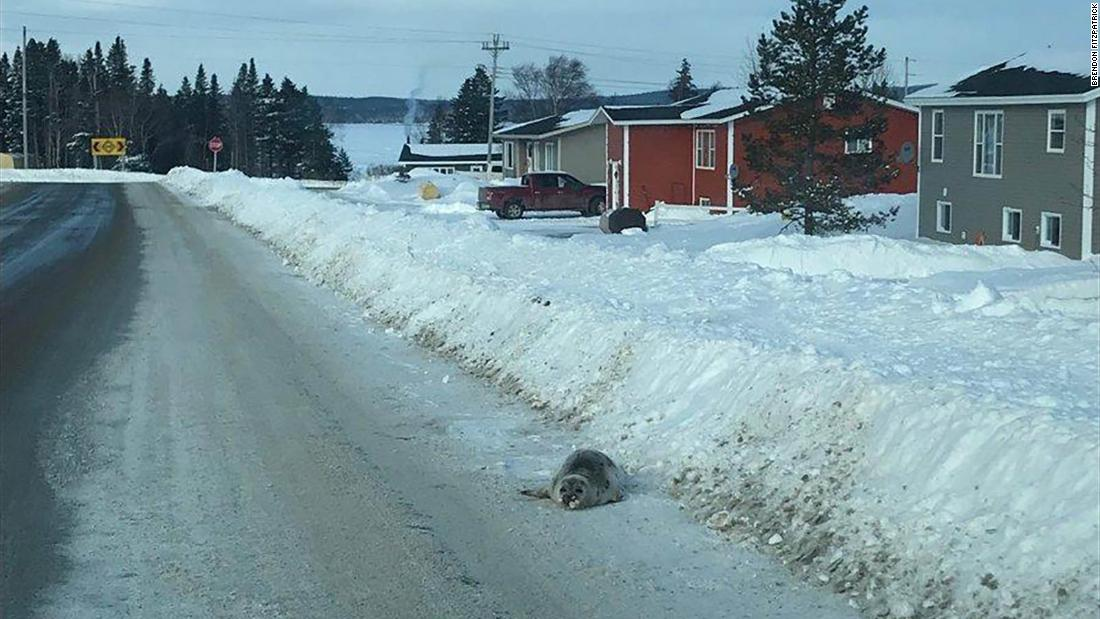 Stranded seals swarm a small Canadian town, unable to steer their way back to sea