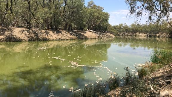 Dozens of fish lying dead on the Darling River in New South Wales near Menindee after an extreme heat wave in January.