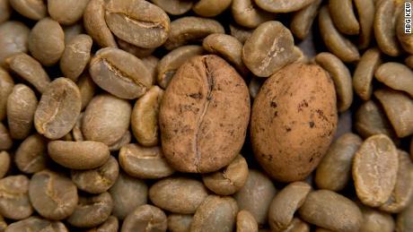 Beans of threatened Ambongo coffee among Arabica coffee in Madagascar.