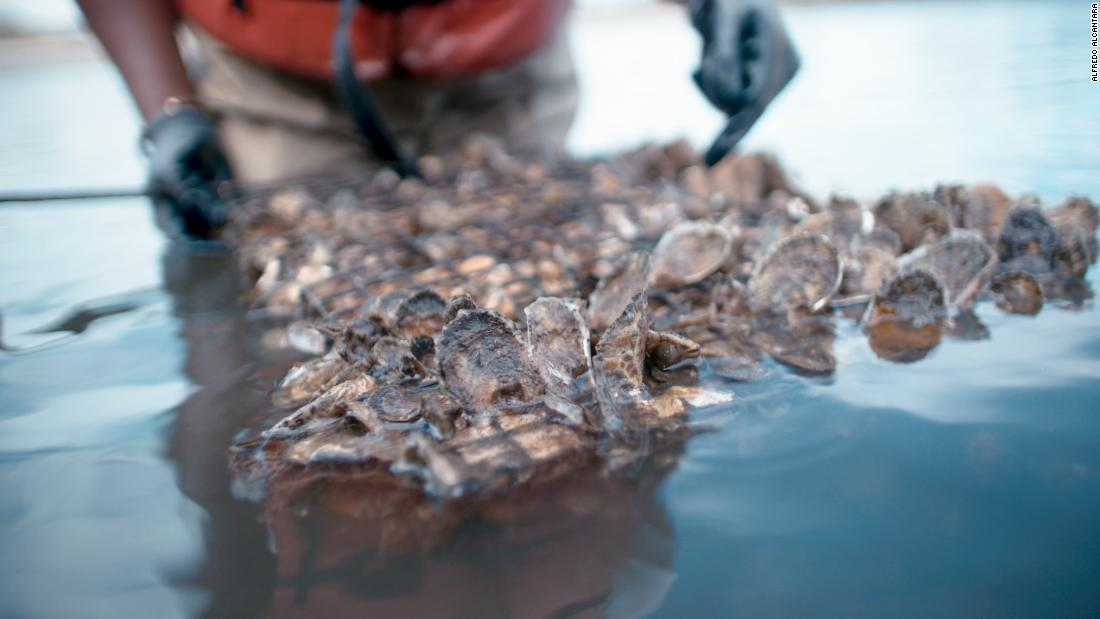 Cleaning New York's filthy harbor with one billion oysters