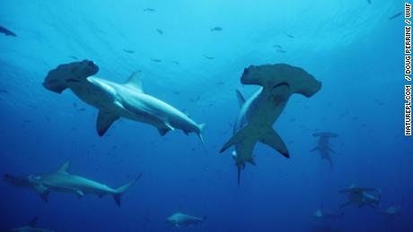 The hammerhead shark population in the Sea of Cortez, between Baja California and mainland Mexico, has declined sharply due to overfishing.