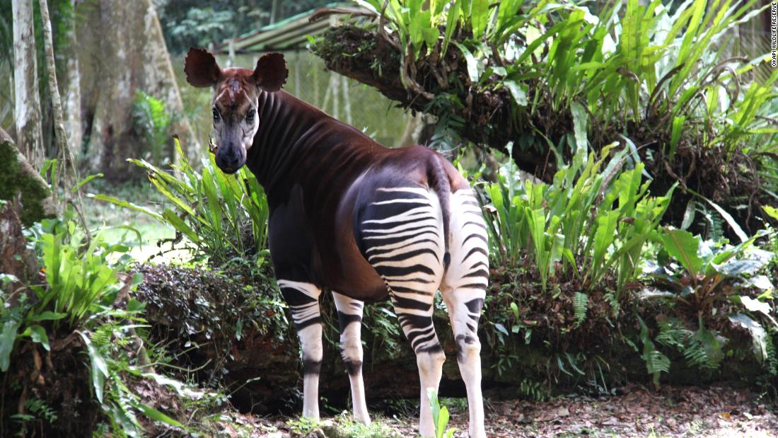 Flipboard Can The Congo Save Itself And Its Mythical Okapi From