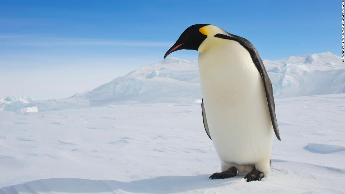 Climate change makes emperor penguins vulnerable due to loss of their breeding habitat.