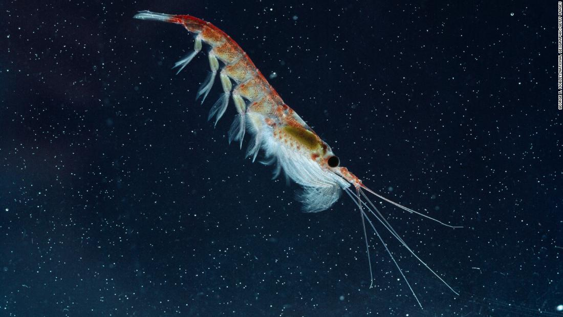 Krill have lived in the cold seas of Antarctica for the past 20 to 30 million years and serve as some of the most plentiful food there, but they are threatened by climate change. Animals that rely on krill, like the Adelie penguin, are in trouble.