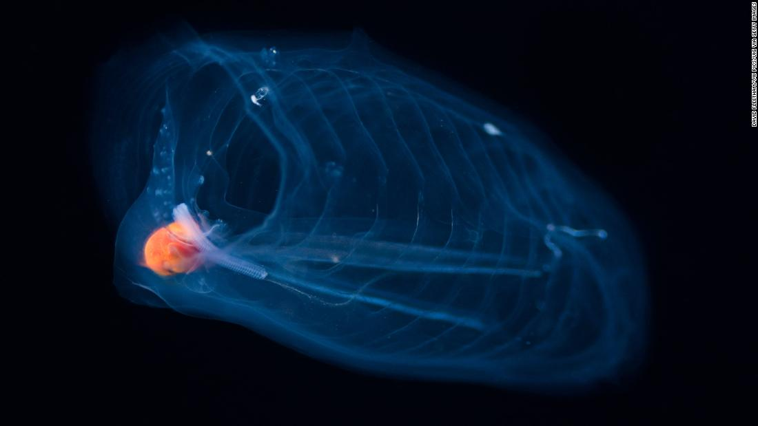 Salp, barrel-shaped gelatinous-bodied creatures move by contracting water through their bodies. With the open water created through climate change, they may benefit.