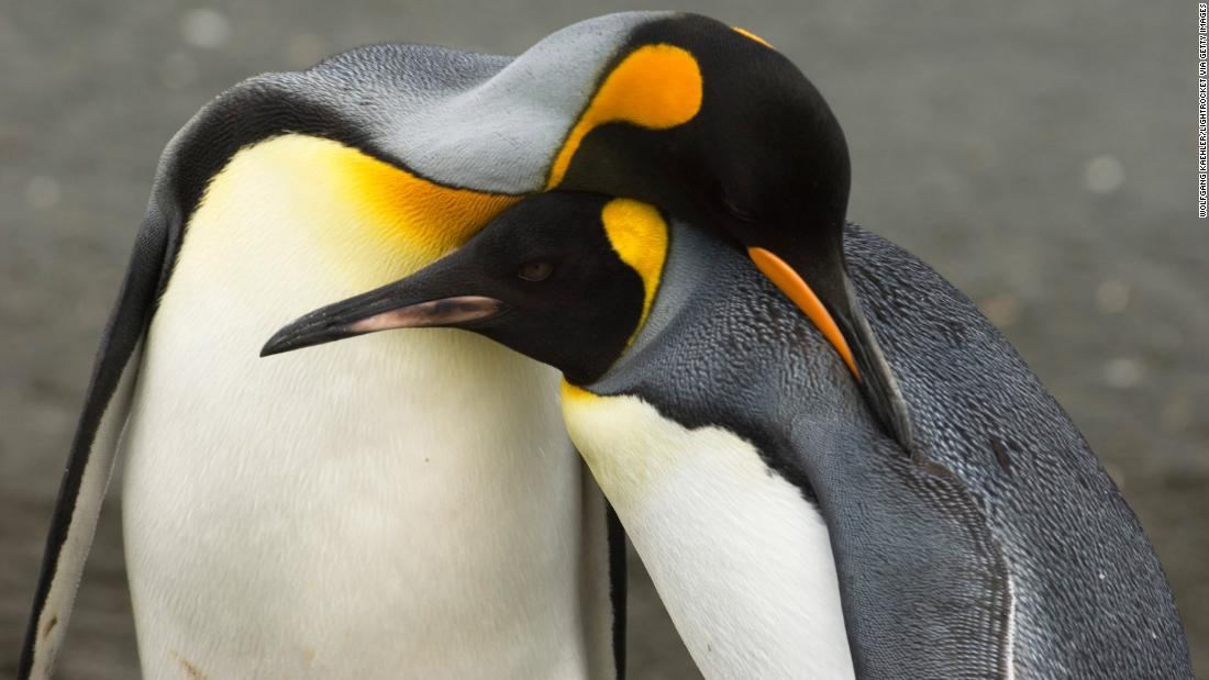 The king penguin is a fish feeder, rather than one that eats krill. It could benefit from the reduced sea ice and collapse of sea ice shelves that come with climate change.