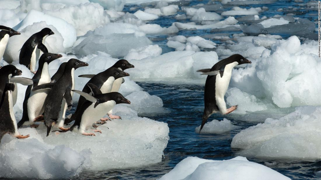 Adelie penguins are vulnerable due to the sea ice depletion caused by climate change and a decline in krill.