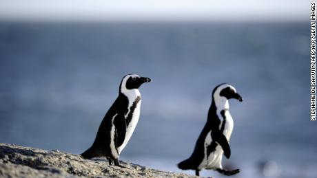 Pinguine & # 39 ;  Eine neue Studie stellt fest, dass Sprachmuster denen von Menschen ähneln