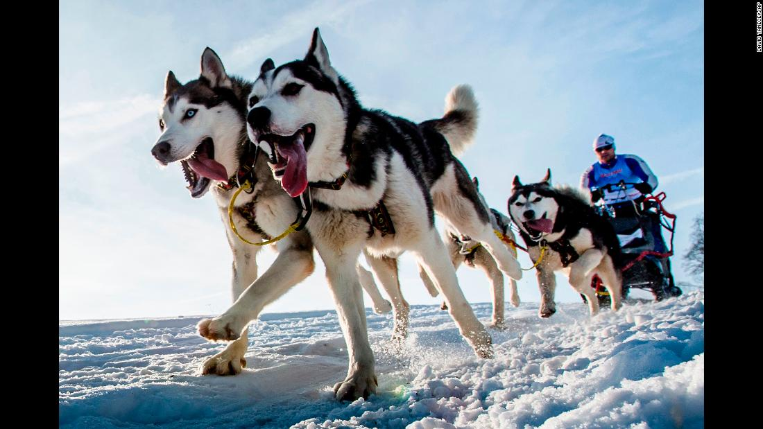 Dogs speed through the Czech snow Friday, January 25, during the Sedivackuv Long dog-sled race.
