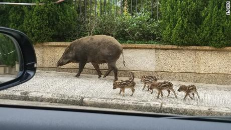 Experts warn no to approach boar piglets because the mother may become aggressive
