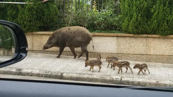 Experts warn never to approach boar piglets because the mother might become aggressive.