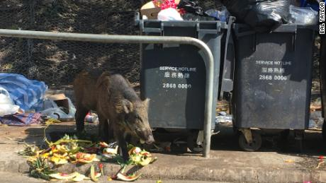 A wild boar raids garbage bins and finds some delicious watermelon rinds