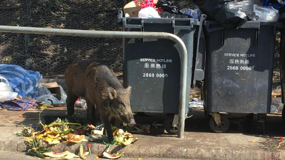 A wild boar raids garbage bins and finds some delicious watermelon rinds.