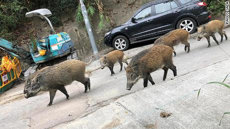 A group of boars out for a walk in Hong Kong.