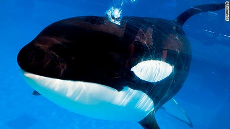 From press release: It is with great sadness that SeaWorld announces that Kayla, a 30-year-old female orca, died the morning of Jan. 28, 2019, with her animal care specialists by her side. The exact cause of death will not be known until the results of a post-mortem examination are complete, which may take several weeks. The entire SeaWorld family is deeply saddened by the loss.