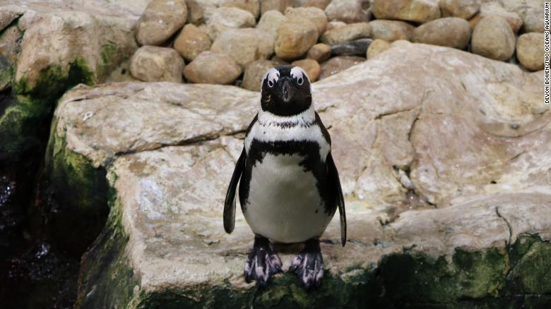 African penguins numbers have dropped sharply over the past century.