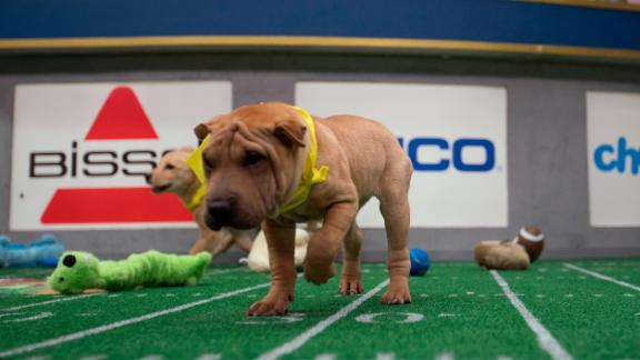 Lola, a shar-pei playing for Team Fluff, regularly wanders off the field to lick volunteers