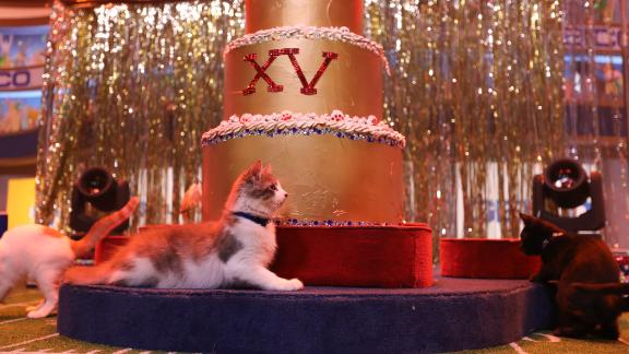 Twenty kittens prepare for the halftime show, during which one lucky kitten will jump out of a giant cake.