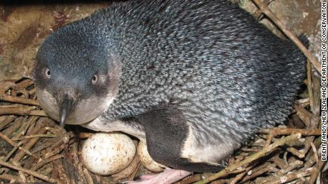 A little blue penguin is seen in a nest.