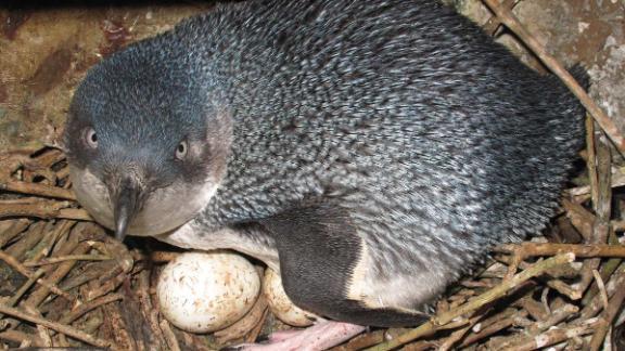 A little blue penguin is seen in a nest.