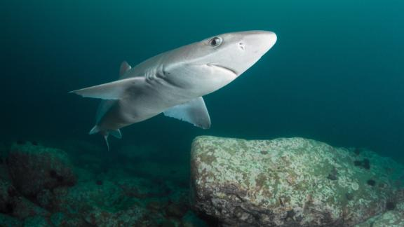 The spiny dogfish is considered endangered in Europe, and vulnerable globally.