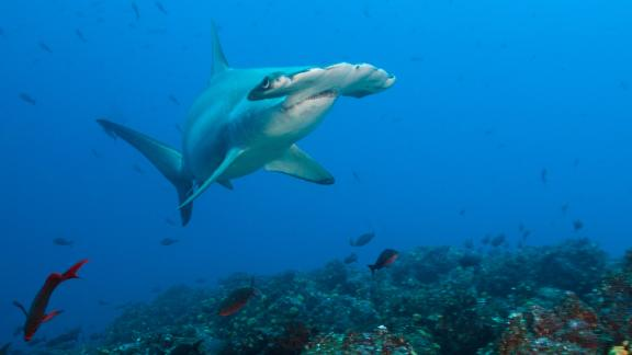 Fins were found on sale belonging to the globally endangered scalloped hammerhead shark.