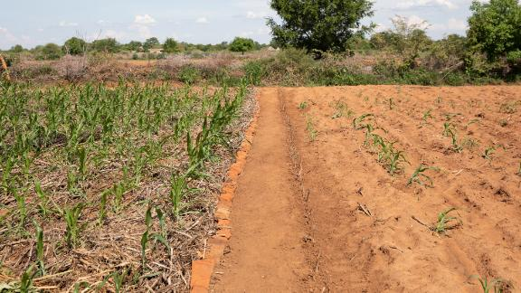 The field on the left uses climate-smart agricultural technique of mulching, so maize has been able to grow better and will produce more food.