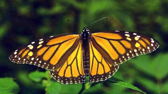 VALLE DE BRAVO, MEXICO - NOVEMBER 15:  A monarch butterfly is seen on a leaf in Valle de Bravo, Mexico 15 November 2001.    Un ejemplar de mariposa monarca posa sobre una rama de un bosque de pinos en la localidad de Valle de Bravo en el estado de Mexico, el 15 de noviembre de 2001. Estas mariposas en cantidad de millones llegan a territorio mexicano desde el Canada, hasta este santuario de Piedra Herrada a unos 2.700 metros sobre el nivel del mar. En Mexico existen 11 santuarios para las monarcas, algunos de los cuales se encuentran seriamente afectados por talamontes (lenadores ilegales) que rocian los arboles con insecticida.  (Photo credit should read MARIO VAZQUEZ/AFP/Getty Images)