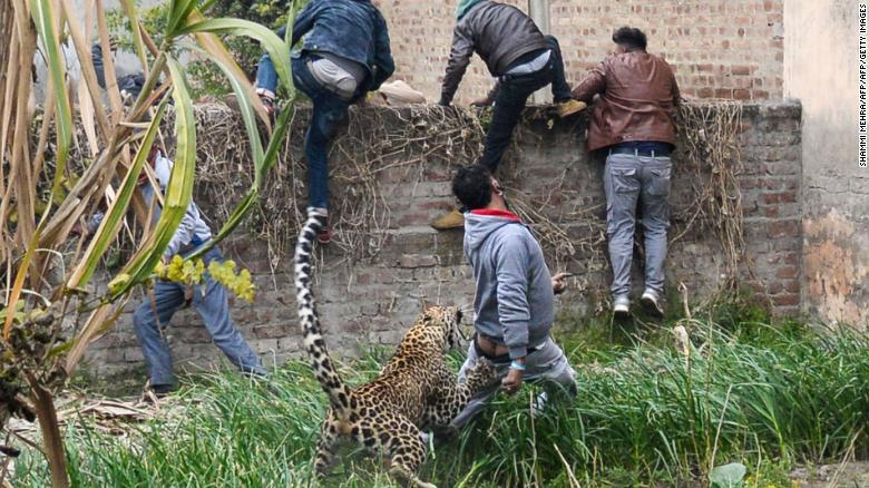A leopard attacks an Indian man as others climb a wall to get away from the animal in Lamba village, on January 31, 2019.
