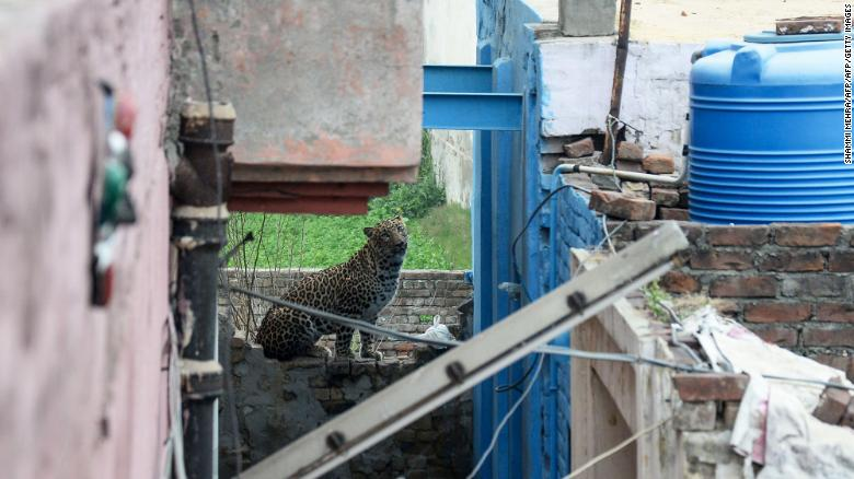 A leopard that has attacked residents is spotted near a house in Lamba village on January 31, 2019.