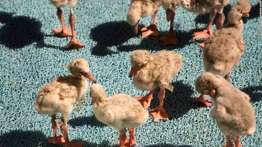 Thousands of flamingo chicks rescued from dried-out South African dam