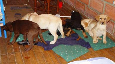 Colombian authorities found puppies being used to smuggle liquid heroin from a farm in Medellin, Colombia.