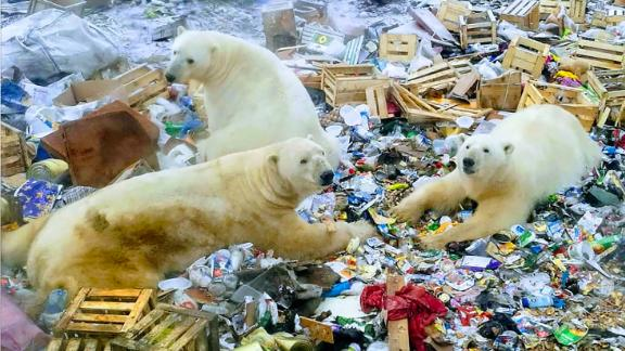 Polar bears invade russian town. Novaya Zemlya, located off Russia