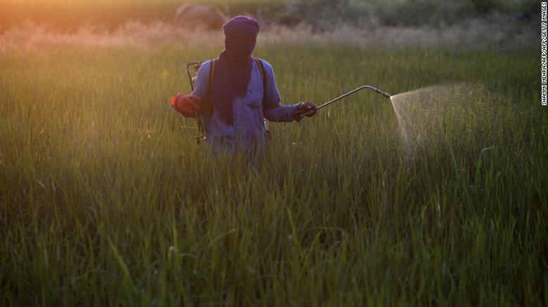 An Indian farm worker sprays pesticide on a paddy crop near Jalandhar. Pesticide use is a major contributing factor to plummeting insect numbers, a recent study has found.