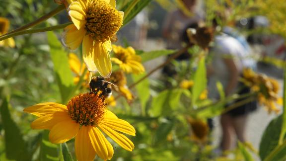 BERLIN, GERMANY - AUGUST 09:  A bumblebee lands on a flower as workers from NABU (Naturschutzbund Deutschland, or Federation for Nature Protection Germany), Germany