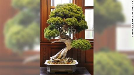 The stolen prize shimpaku bonsai tree, that its owners say was worth 1 million yen.