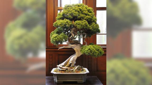 The stolen prize shimpaku bonsai tree, that its owners say was worth 1 million yen.