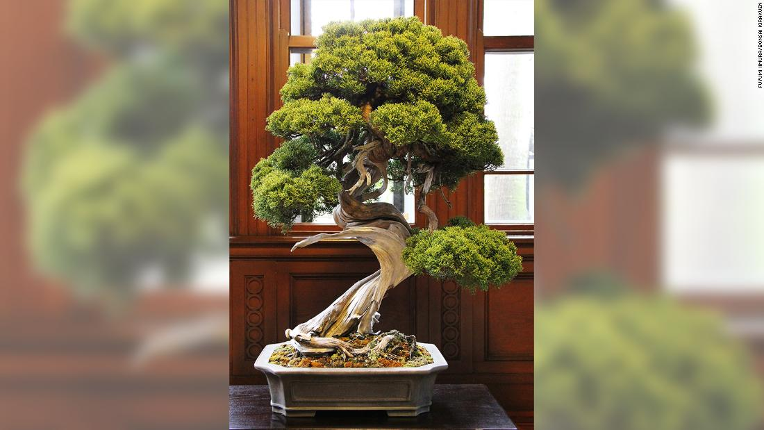 Bonsai thief steals $118,000 of tiny trees from garden, including 400-year-old juniper