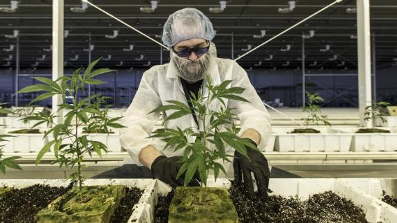 An employee tends to marijuana plants at the Aurora Cannabis Inc. facility in Edmonton, Alberta, Canada, on Tuesday, March 6, 2018.  Photographer: Jason Franson/Bloomberg via Getty Images