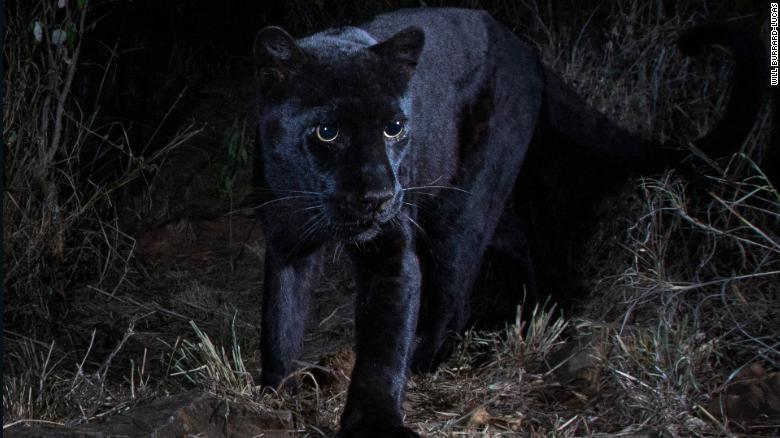 Will Burrard-Lucas said he shot the images of the black leopard at Laikipia Wilderness Camp using a Camtraptions Camera.