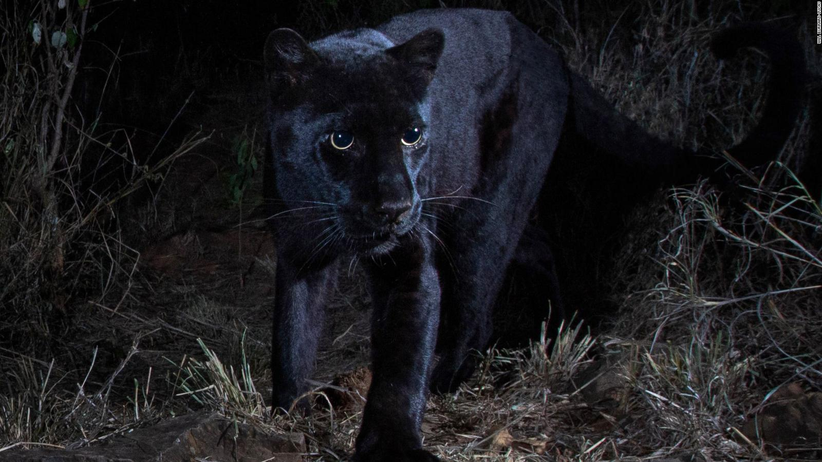 Rare Black Leopard Captured In New Images From Kenya Cnn