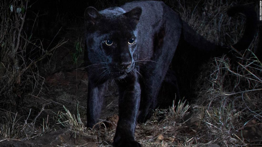 African black leopard photographed for the first time in over 100 years, scientist says