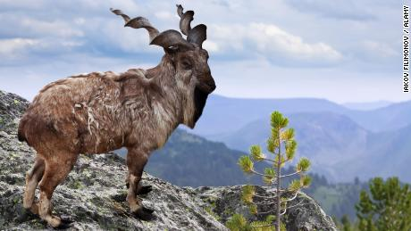 The markhor, pictured here in a file photo, is Pakistan's national animal.