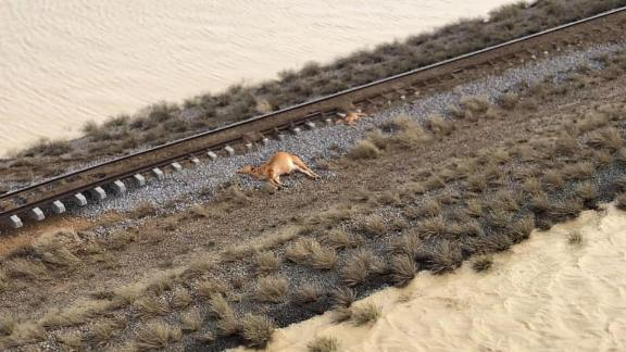 A dead cow seen from above in Queensland, Australia