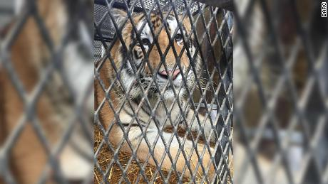 BARC—the City of Houston's Animal Shelter and Adoptions Center—is pleased to announce that the 350-pound male tiger found Monday has been transferred to the Cleveland Amory Black Beauty Ranch, an affiliate of the Humane Society of the United States.