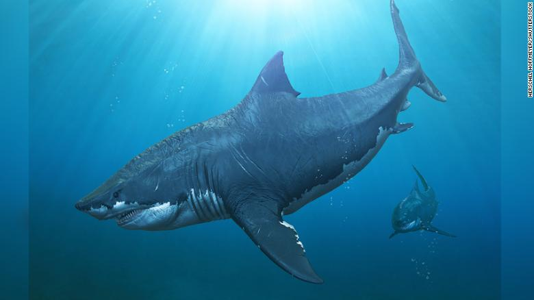 Megalodon sharks could reach up to three times the size of the largest great white ever recorded.