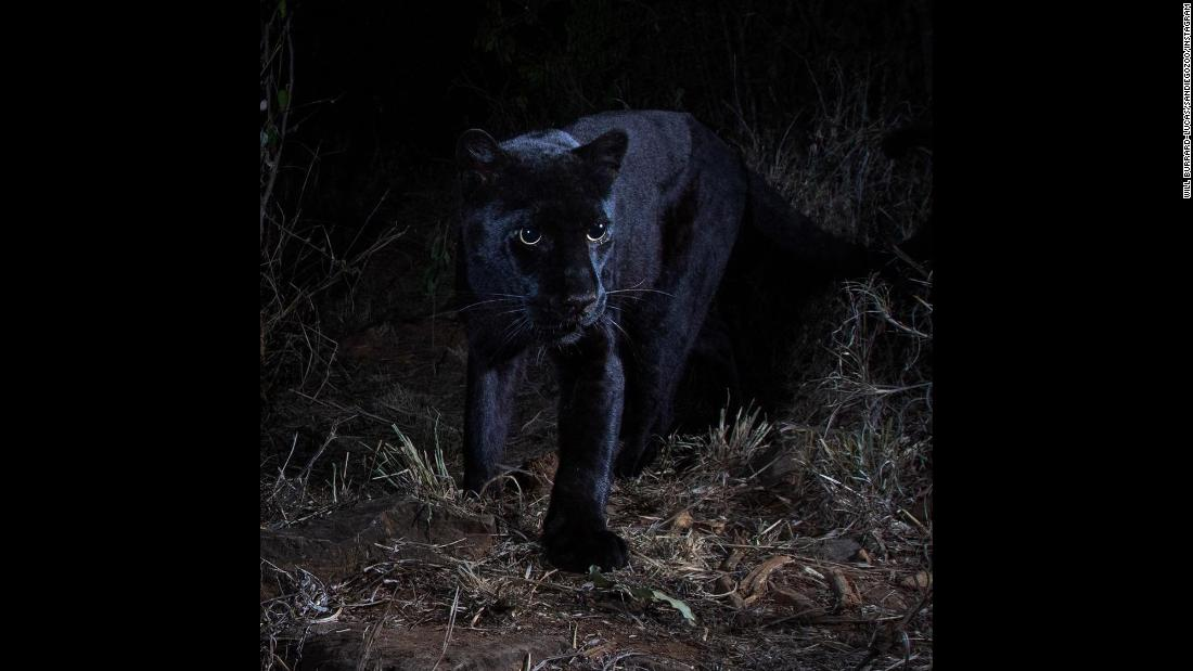 A rare black leopard is photographed at the Laikipia Wilderness Camp in Kenya.